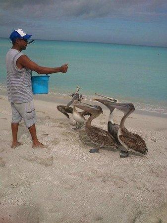 Hotel Gran Caribe Sunbeach: Кубинец кормит пеликанов
