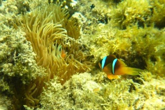 Baron Palace Sahl Hasheesh : Nemofisk og anemone