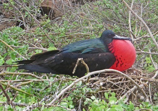Galapagos Alternative: Frigatebird
