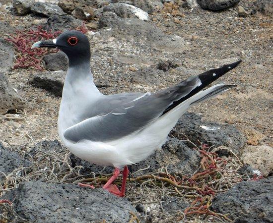 Galapagos Alternative: Swallow tailed gull