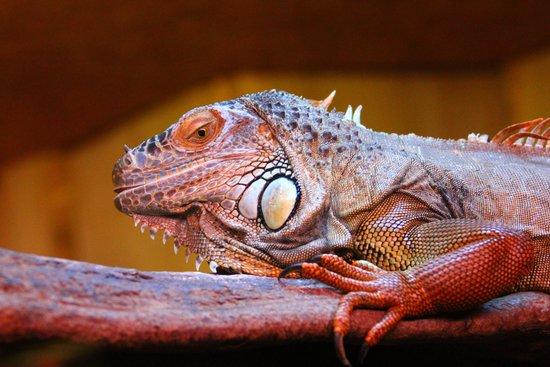 Zoo des Sables d'Olonne : iguane