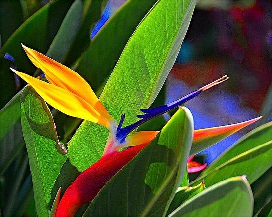 Casa del Mar Beach Resort: bird of paradise