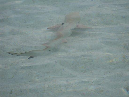 Sun Island Resort: Детеныш акулы у нас под берегом