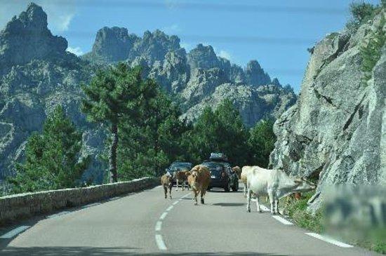 Aiguilles de Bavella (Bavella Needles): Vaches