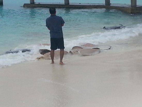 Reethi Beach Resort: Feeding time for the sting rays