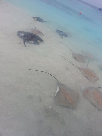 Reethi Beach Resort: Just how big are these rays...?!?