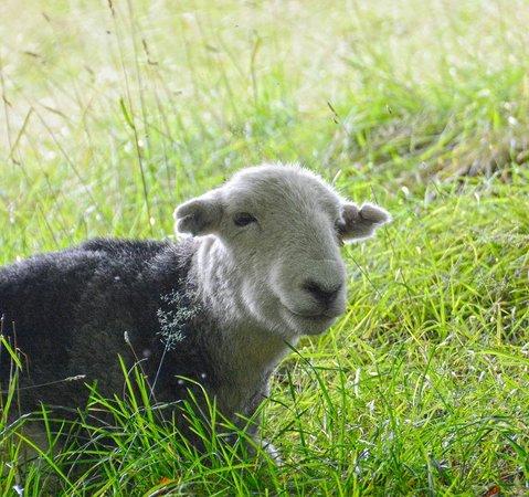 Allan Bank : Friendly Sheep