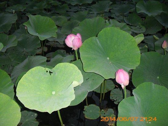Hotel Termal: Water-lilies