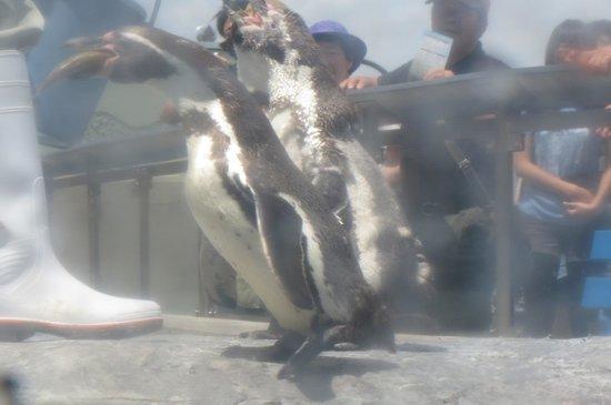 Asahiyama Zoo : ペンギンさんのもぐもぐタイム