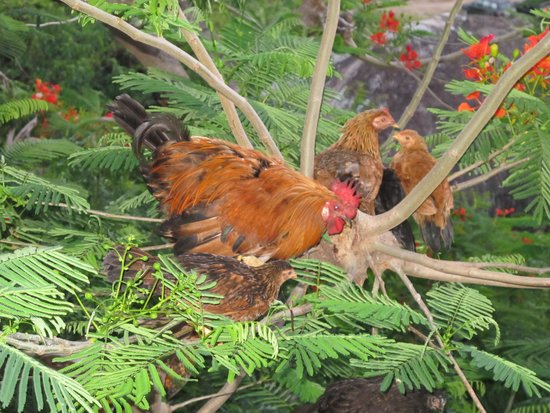Rosewood Little Dix Bay: The chickens at the mine shaft
