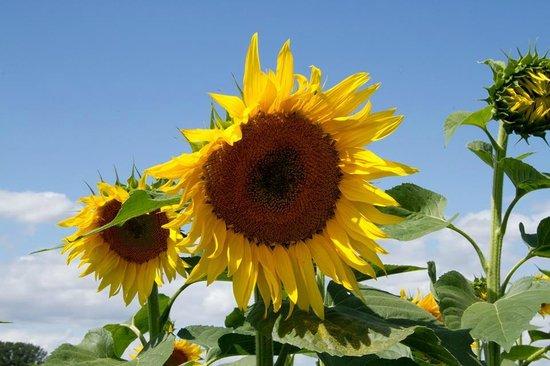 Hitchin Lavender: Sunny Sunflower