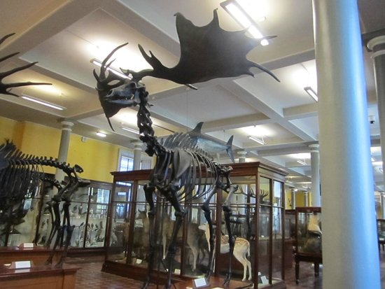 National Museum of Ireland - Natural History : Giant Deer