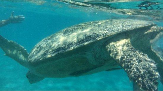 Concorde Moreen Beach Resort & Spa Marsa Alam : Tartaruga gigante