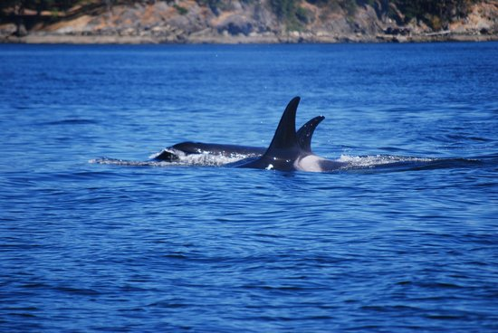 Eagle Wing Whale Watching Tours : Orca