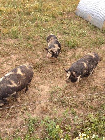 Kingston Lacy: Pigs !