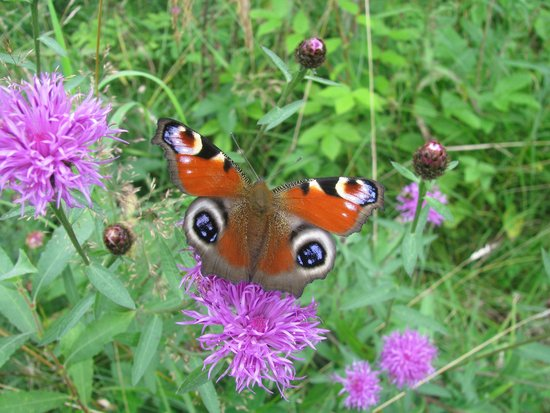 Foxglove Covert Local Nature Reserve: Peacock Butterfly
