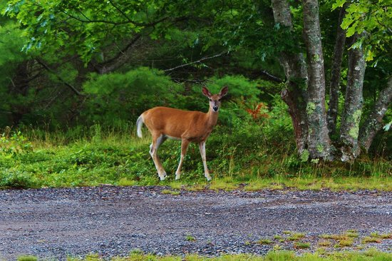 Bar Harbor Campground: Deer appear almost very evening