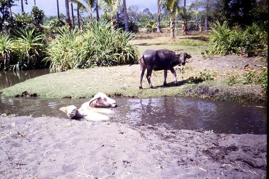 Lovina Beach : Bufali al bagno diapo 1985