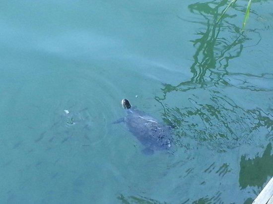 Keysan Yunus Hotel: Turtle by jetty