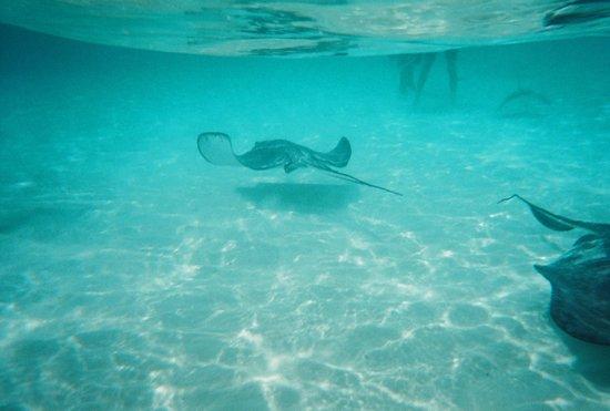 Stingray City: Underwater view of the stingrays