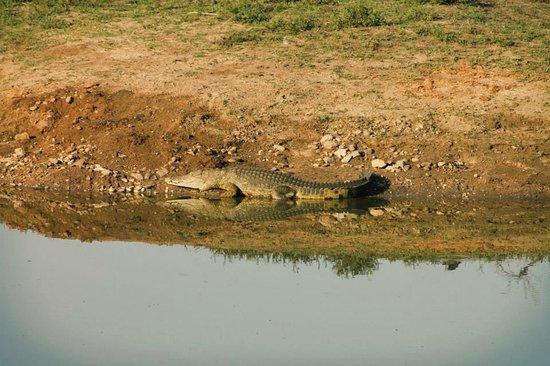 Sausage Tree Safari Camp : Croc watching