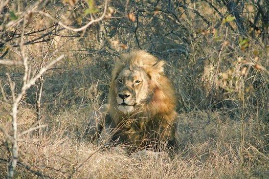Sausage Tree Safari Camp: The king of the local lion pride