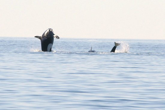 Adventure Quest Tours Canada Inc- Day Tours: Pod of Orca