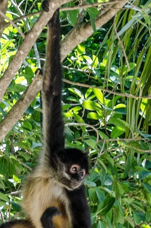 Grand Velas Riviera Maya: Monkeys at the Zen Pool