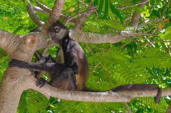 Grand Velas Riviera Maya: Monkey at the Zen Pool