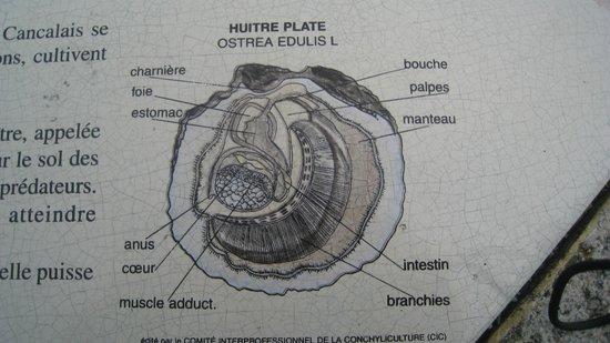 Trimaran Defi Cancale: componentes de la ostra