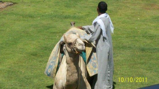 Jolie Ville Hotel & Spa - Kings Island, Luxor: resident camel