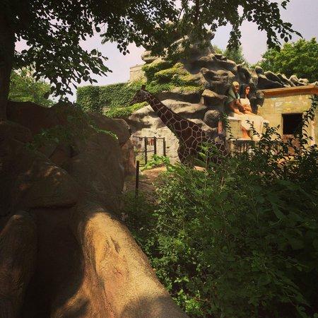 Detroit Zoo: Girrafe