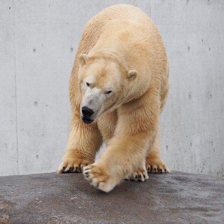 Copenhagen Zoo: Power behind the Icebear