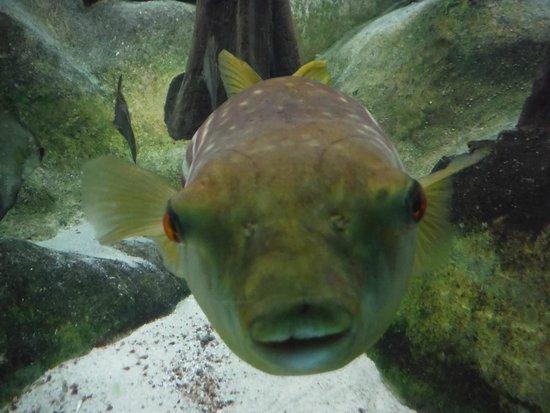 Shedd Aquarium: Puffer fish
