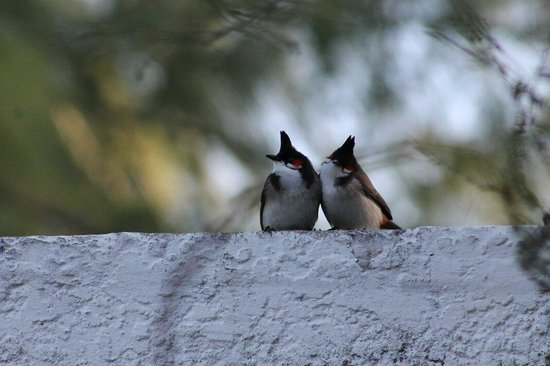 Coin de Mire Attitude : Gorgeous red whiskered bul buls that u find at the hotel. What a treat!