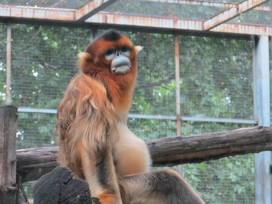 Beijing Zoo: Snub-nosed monkey