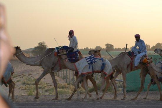 Dubai Desert Conservation Reserve: corrida de camelos