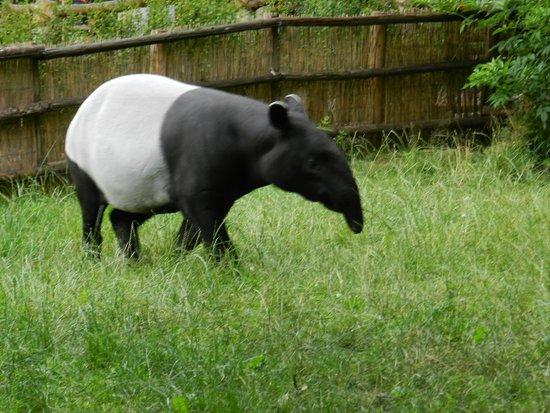 Prager Zoo: Tapir