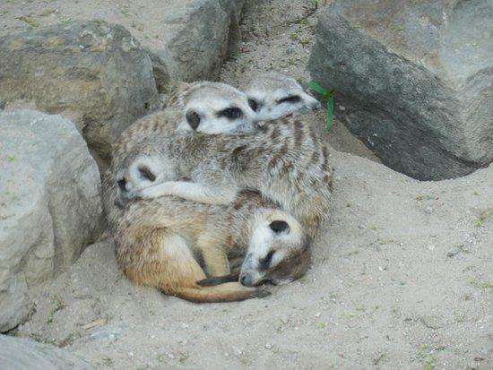 Prague Zoo : Сурикаты