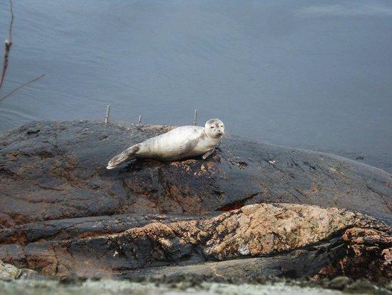 Drobak : Тюлень