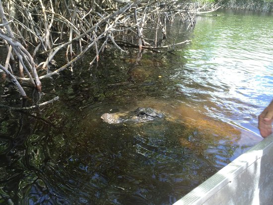 Captain Jack's Airboat Tours : are you my lunch?