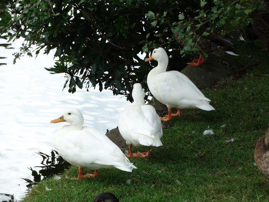 Dunham Massey Hall & Gardens: Aylesbury Duck's