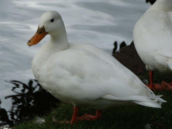 Dunham Massey Hall & Gardens: Aylesbury Duck-domestic not wild