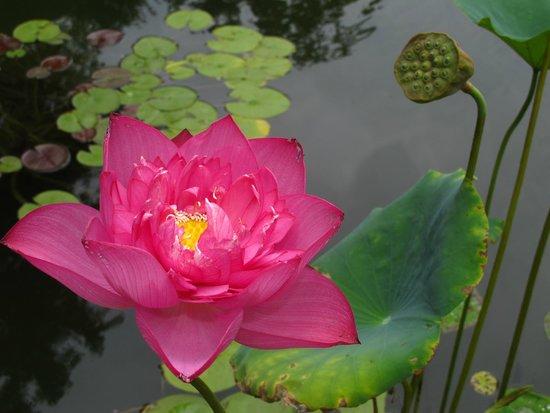 Dallas Arboretum & Botanischer Garten: water lilies