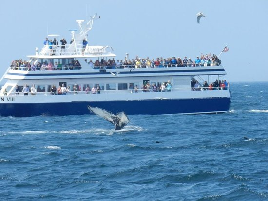 Dolphin Fleet Whale Watch : Humpback whale tale, with Dolphin VII in background