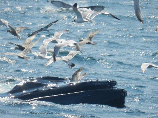 Dolphin Fleet Whale Watch : Humpback whale