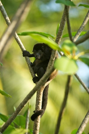 Florblanca Resort: Howler Monkey in front of our villas