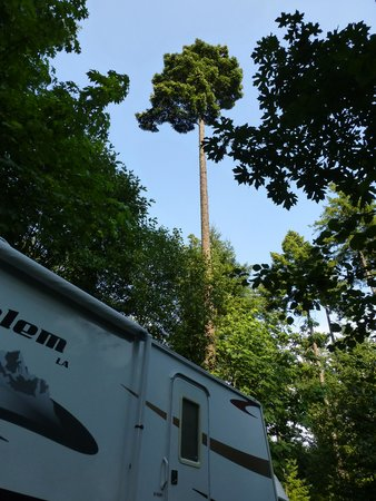 Timberlake Campground and RV Park: Lovely big trees