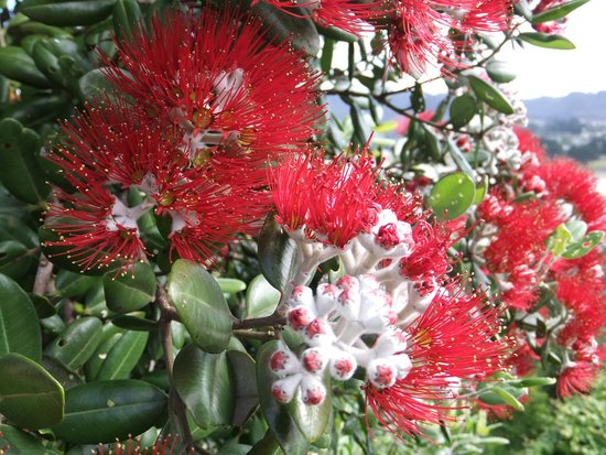 Coastal Heights Apartment: Pohutukawa flowers