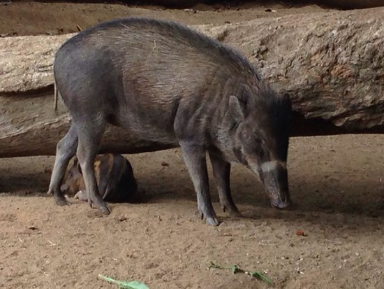 San Diego Zoo: Warty pigs from Visaya, Philippines